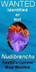 most wanted - nudibranchs